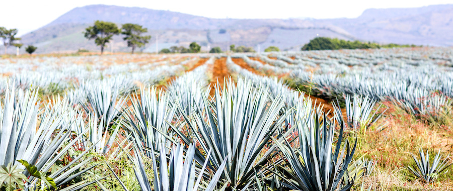 What is the Difference Between Mezcal and Tequila?